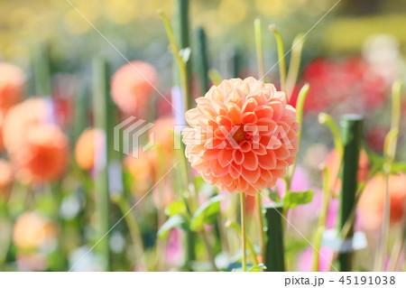 秋の公園 ダリアの花 45191038
