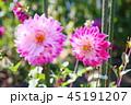 ダリア 花 植物の写真 45191207