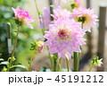 ダリア 花 植物の写真 45191212