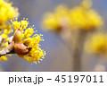サンシュユ 春黄金花 アキサンゴの写真 45197011