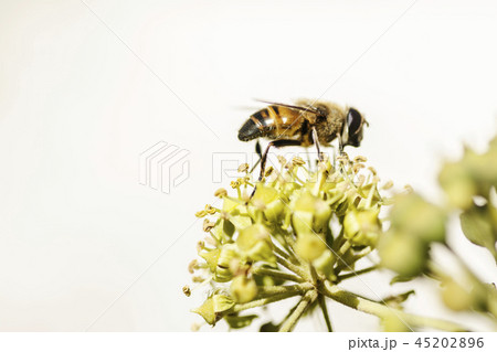 ivy bloom bee collects nectar natural background 45202896