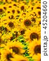 ひまわり 向日葵 向日葵畑の写真 45204660