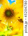 ひまわり 向日葵 植物の写真 45204780