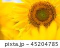 ひまわり 向日葵 植物の写真 45204785
