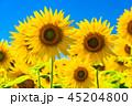 ひまわり・夏イメージ 45204800