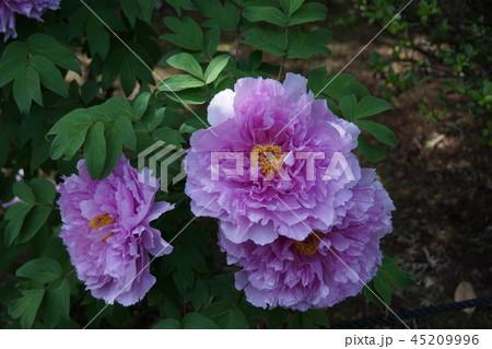 牡丹 品種は紫光錦 花言葉は「高貴」 45209996