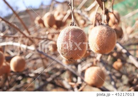 キウイ畑で収穫、新鮮な果物、群馬県南牧村 45217013