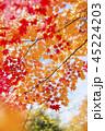 紅葉 モミジ カエデの写真 45224203