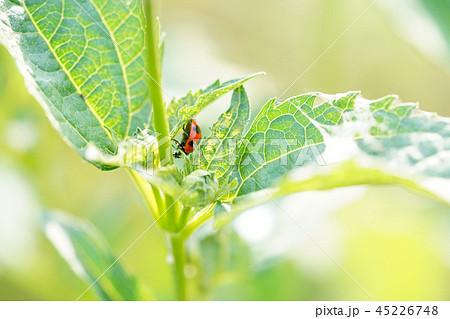 葉にとまるてんとう虫 45226748