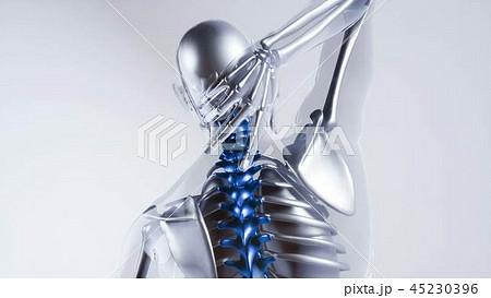 Human Spine Skeleton Bones Model with Organs 45230396