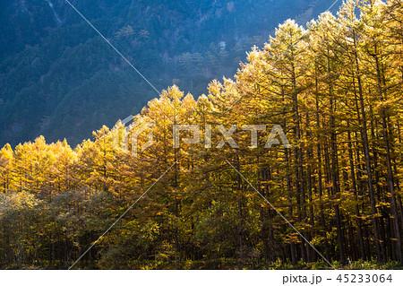 《長野県》秋の上高地・唐松と北アルプス 45233064