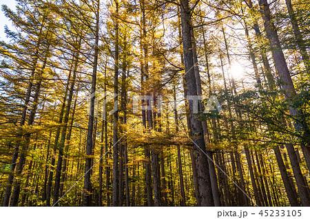《長野県》秋の上高地・カラ松 45233105