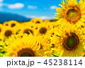 ひまわり ひまわり畑 花の写真 45238114