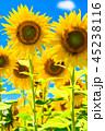ひまわり ヒマワリ畑 花の写真 45238116