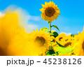 ひまわり ひまわり畑 花の写真 45238126