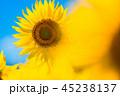 ひまわり ヒマワリ畑 花の写真 45238137