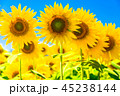 ひまわり ヒマワリ畑 花の写真 45238144