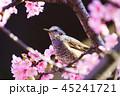 春 桜 河津桜の写真 45241721