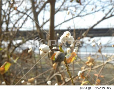 蝋に包まれたナンキンハゼ種 45249105