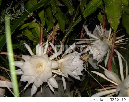 夜大きな白い花を咲かせ夜の内に萎むゲッカビジンの花 45250139