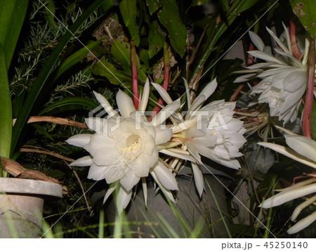 夜大きな白い花を咲かせ夜の内に萎むゲッカビジンの花 45250140