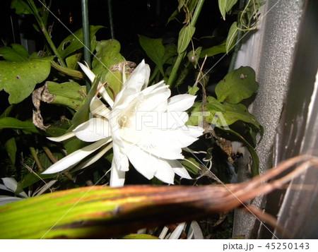 夜大きな白い花を咲かせ夜の内に萎むゲッカビジンの花 45250143