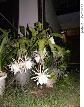 夜大きな白い花を咲かせ夜の内に萎むゲッカビジンの花 45250144