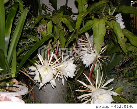 夜大きな白い花を咲かせ夜の内に萎むゲッカビジンの花 45250146