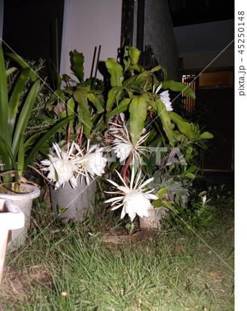 夜大きな白い花を咲かせ夜の内に萎むゲッカビジンの花 45250148