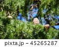 スギ 実 葉の写真 45265287