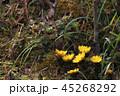 福寿草 早春 元日草の写真 45268292