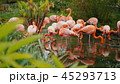 A group of beautiful American flamingos grazing in green undergrowth. Stand in shallow water 45293713
