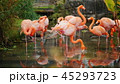 A flock of pink American Flamingos grazing in the water 45293723