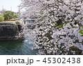 琵琶湖疏水口の桜 45302438