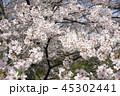 琵琶湖疏水口の桜 45302441