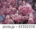 桜 45302556
