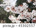 桜 45302557