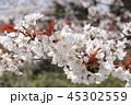 桜 45302559