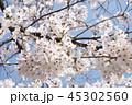 桜 45302560