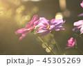 コスモス 秋桜 花 秋 咲く 光 コピースペース 自然 花畑  45305269