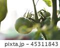 トマト 野菜 栽培 青い 未熟 植物 農業 マクロ クローズアップ 緑黄色野菜 45311843