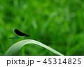 ハグロトンボ トンボ 昆虫の写真 45314825
