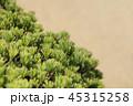 盆栽 松 五葉の写真 45315258