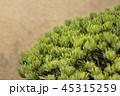 盆栽 松 五葉の写真 45315259