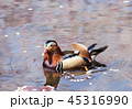 オシドリ 鳥 水鳥の写真 45316990