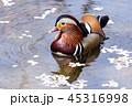 オシドリ 鳥 水鳥の写真 45316998