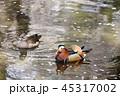 オシドリ 鳥 水鳥の写真 45317002