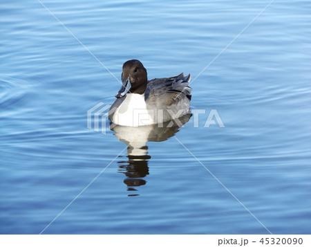 今年もやって来ました冬の渡り鳥オナガガモ 45320090