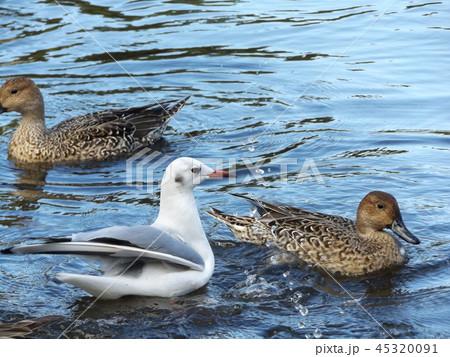 今年もやって来ました冬の渡り鳥オナガガモとユリカモメ 45320091