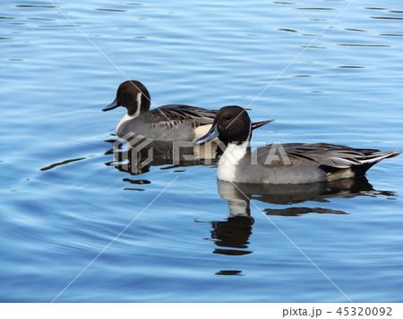 今年もやって来ました冬の渡り鳥オナガガモ 45320092